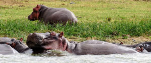 Hippos in Kazinga Channel